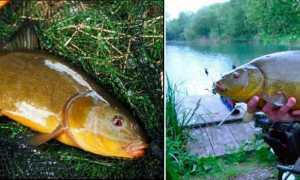 Линь рыба на что ловить