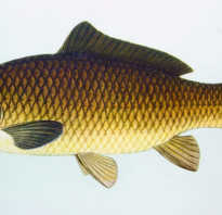 Короп рыба