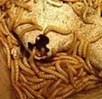 Как развести мучных червей в домашних условиях