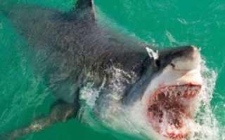 Крымская акула