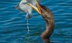 Лосик рыба