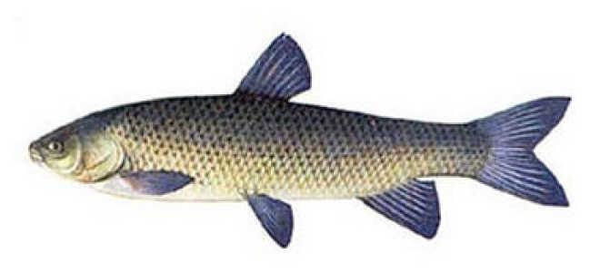 Белый амур рыба википедия