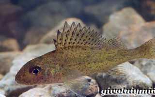 Ерш рыба википедия