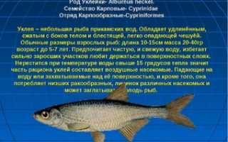 Бакля рыба