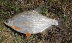 Густера рыба фото