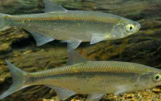 Верхоплавка рыба википедия