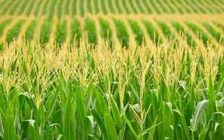 Кукуруза сухая