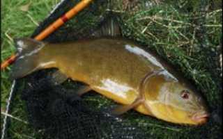 Ловля линя на поплавочную удочку видео
