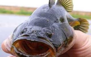 Как выглядит рыба ротан