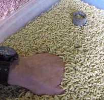 Как разводить опарыша