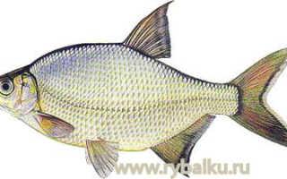Бустера рыба