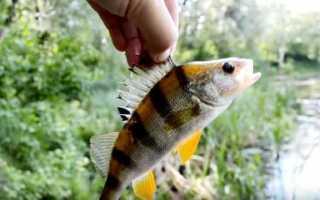 Как ловить окуня летом
