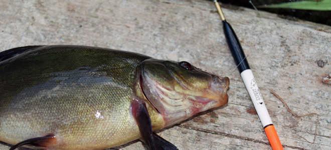 Как ловить линя на поплавочную удочку видео