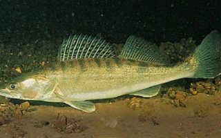 Где обитает судак рыба