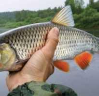 Как выглядит рыба голавль фото