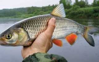 Как выглядит рыба голавль