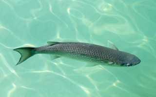 Как ловить кефаль в черном море