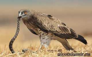Змеелов птица