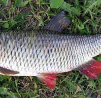 Голавль что за рыба