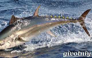 Где водится тунец